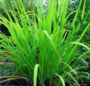 Un déodorant naturel : l'huile essentielle de Palmarosa